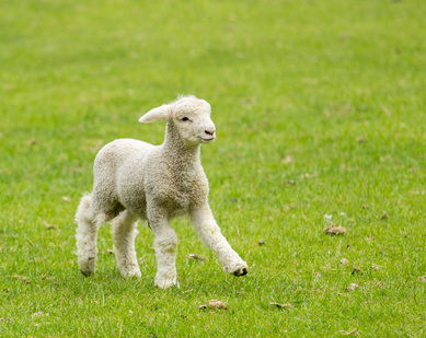 Small cute lamb gambolling in a meadow in New Zealand farm
